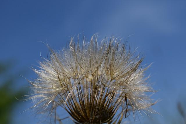 Had Salsify, Dandelion, Sky, Plant, Flower, Nature