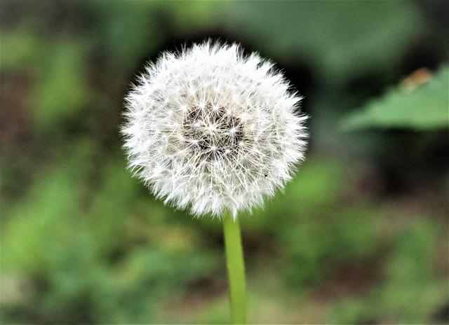 Dandelion, Sonchus Oleraceus, Fluff, Lawn, Plant
