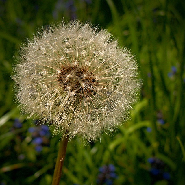 Dandelions, Dandelion, Medical, Green, Grass, Macro