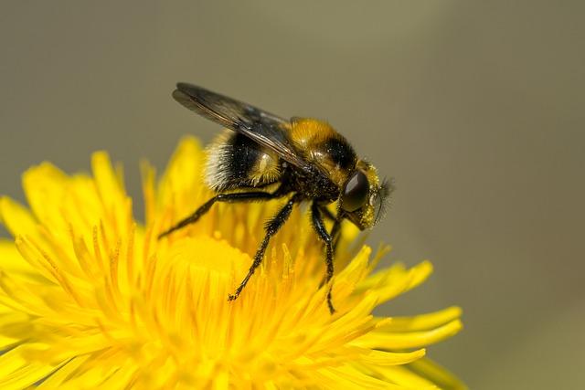 Hover Fly, Macro, Facets, Dandelion