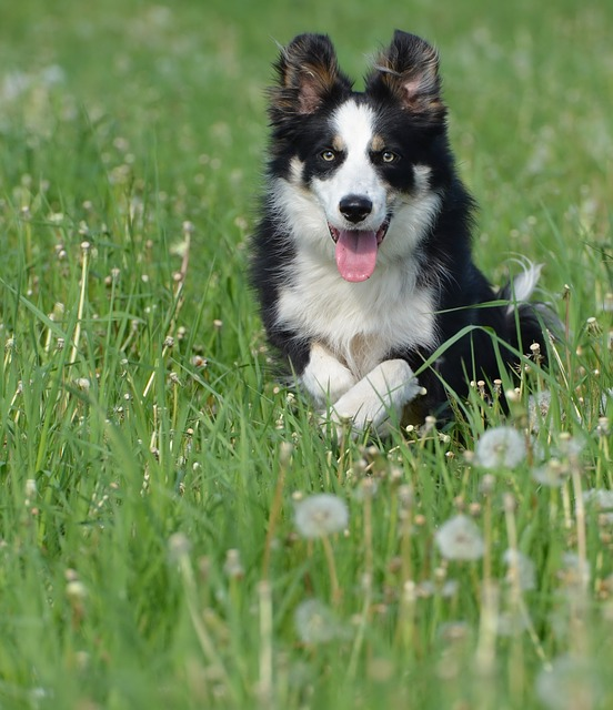 Border Collie, Dandelion Meadow, Flower Meadow