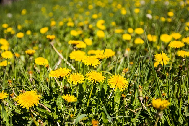 Meadow, Dandelion, Spring, Grass, Nature