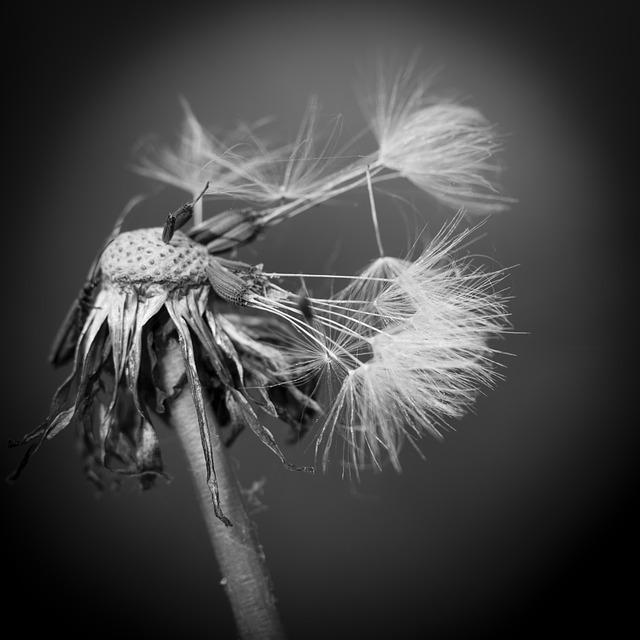 Dandelion Black And White Morbid