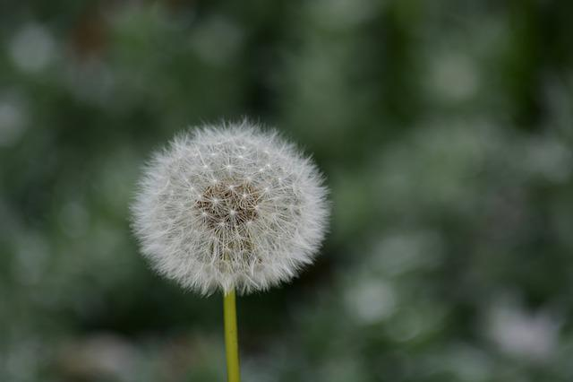 Dandelion, Flower, Nature, Plants, Botany