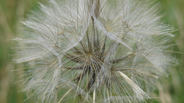 Dandelion, Nature, Plant, Sonchus Oleraceus, Nuns