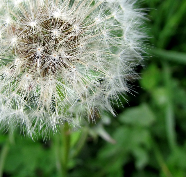 Dandelion, Flower, Nature, Summer, Seeds