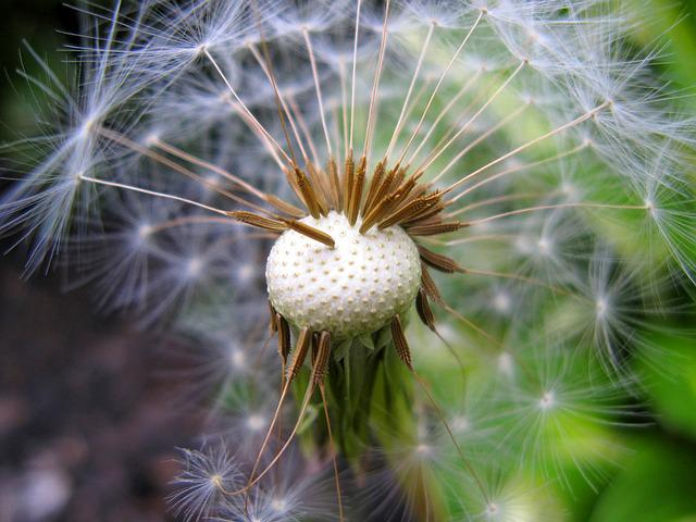Seed Head, Dandelion, Plant, Nature, Weed, Fluffy