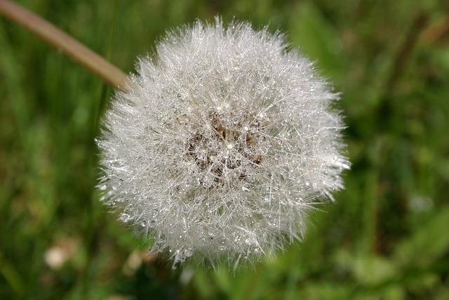Dandelion, Plant, Nuns
