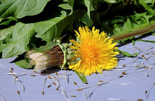 Dandelion, Flower, Blossom, Bloom, Bloom, Yellow, Plant