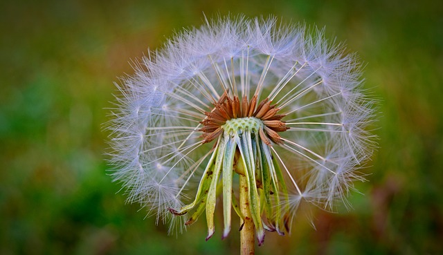 Dandelion, Flying Seeds, Flower, Nature, Plant