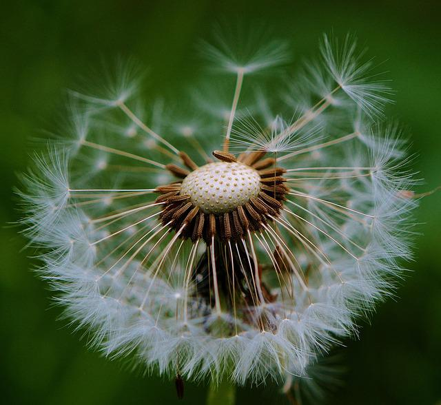 Dandelion, Plant, Nature, Flower, Close, Pointed Flower