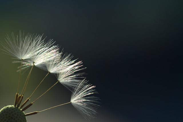 Dandelion, Back Light, Rays, Sunlight, Hell, Close