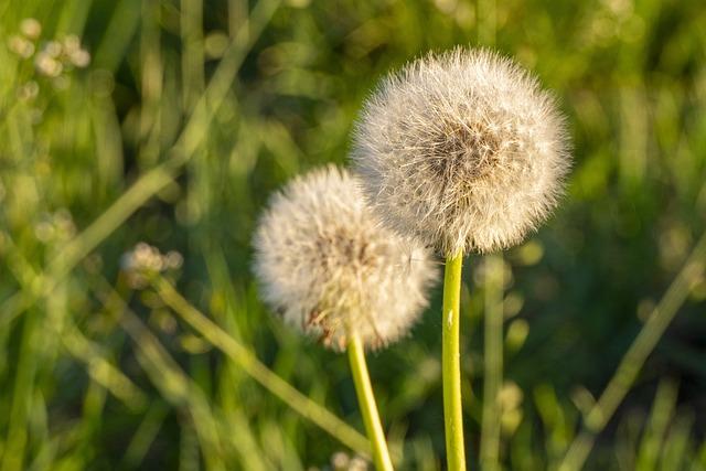 Dandelion, Meadow, Sonchus Oleraceus, Nature