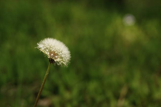 Flowers, Spring, Cosmos, Dandelion, Summer, Nature, Bud