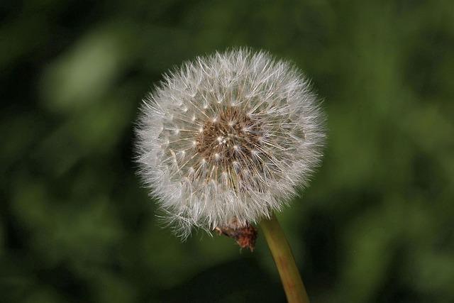 Dandelion, Nature, Plant, Summer