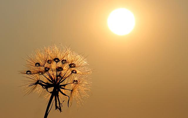 Dandelion, Sun, Dew, Water, Plants