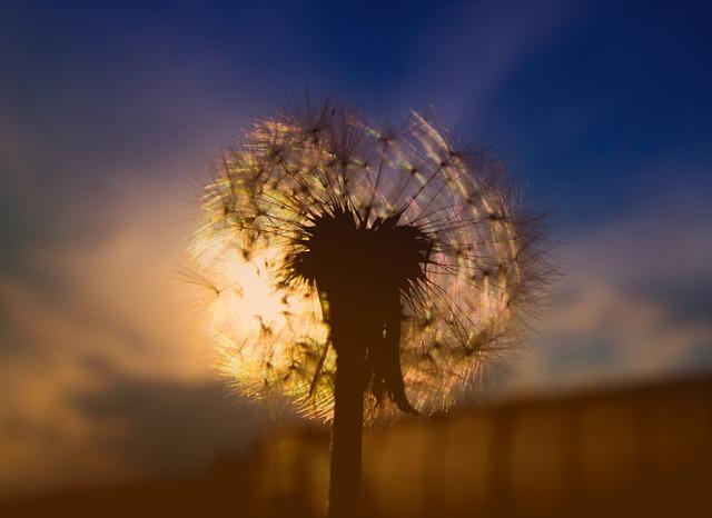 Dandelion, Sunset, Sky, Silhouette, Furry, Plant