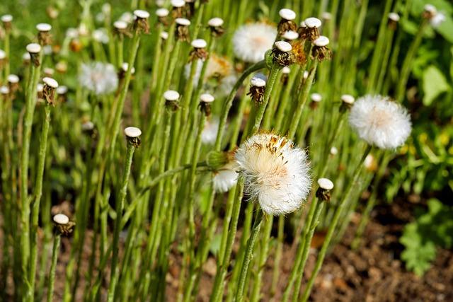 Tussilago Farfara, Dandelion, Seeds, White