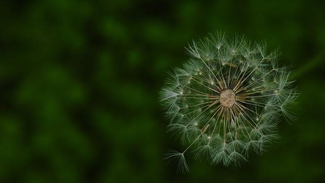 Dandelion, Dandelion Mr Hall, Wildflower, This Star