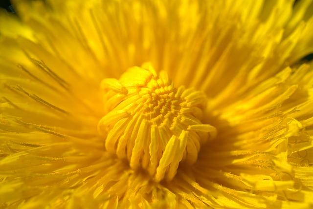 Dandelion, Spring, Nature, Common Dandelion, Yellow
