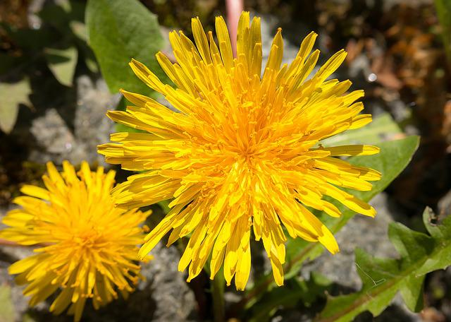 Dandelion, Yellow, Flower, Buttercup, Stamp, Bühen