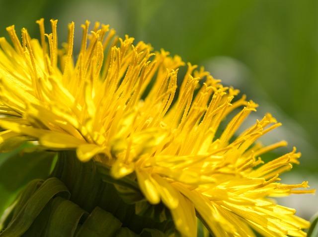 Dandelion, Yellow Flower, Nectar, Honey