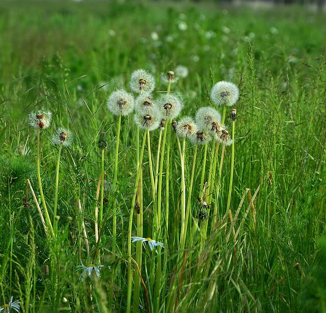 Dandelions, Dandelion, Meadow, Pointed Flower, Field