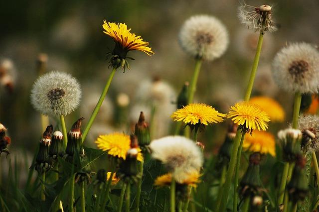 Meadow, Nature, Dandelions, Yellow, Flowers, Dandelion