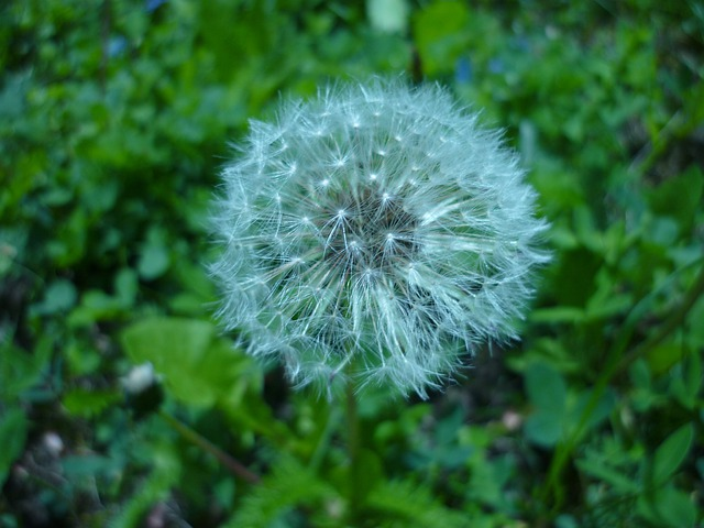 Dandelion, Chmíří, Dandelions, Flower, Plant, Plants