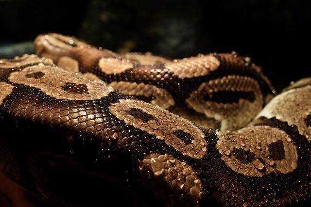 Python, Drop Of Water, Close, Dander, Snake