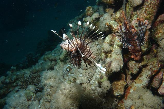 Lionfish, Red Sea, Diving, Danger
