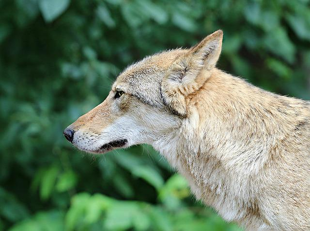 Wolf, Grey, Predator, Snout, Forest, Danger, Hunter