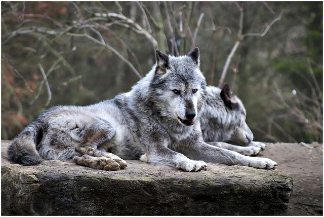 Wolf, Zoo, Animal, Hanover, Predator, Dangerous