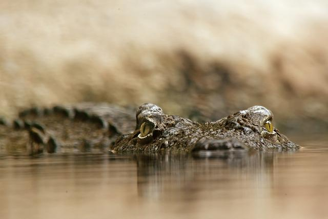 Crocodile, Reptile, Dangerous, Alligator, Close