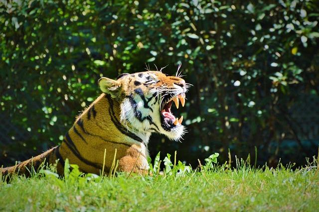 Tiger, Cat, Wildcat, Big Cat, Dangerous, Zoo