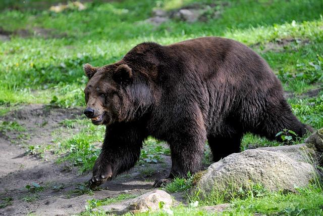 Brown Bear, Bear, Wild Animal, Wildlife Park, Dangerous