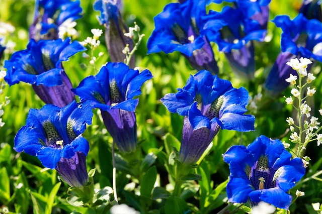 Gentian, Flower, Blossom, Bloom, Blue, Dark Blue