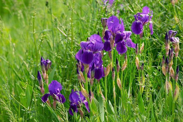 Iris, Flower, Blossom, Bloom, Dark Purple, Swamp Iris