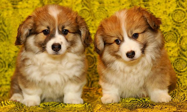 Puppies, The Pembroke Welsh Corgi, Pet, Darling