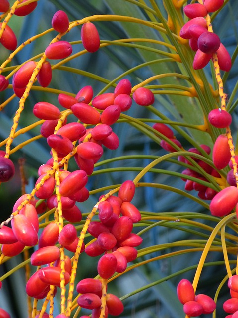 Date Palm Fruit, Date, Palm, Fruit, Red, Berry