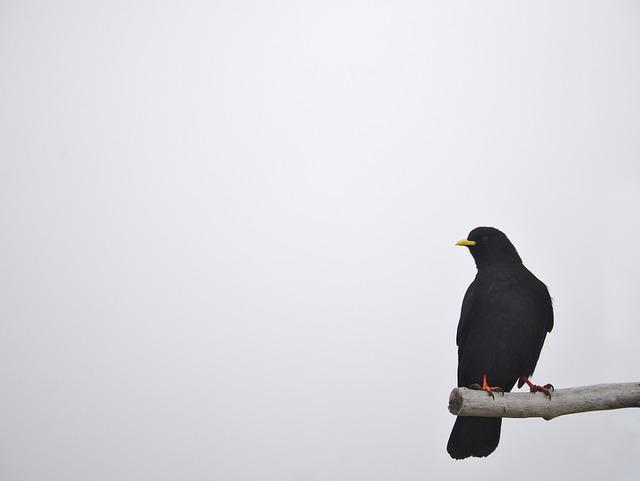 Daw, Bird, Wild, Wildlife, Jackdaw, Nature, Habitat