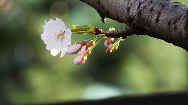 Cherry Flowers, Nature, Naked Trees, Daxing Auto
