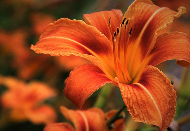 Lily, Orange, Daylily, Blossomed, Petal, Lilies, Petals