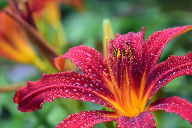 Lily, Red, Blossom, Bloom, Daylily, Wet, Drip, Moist