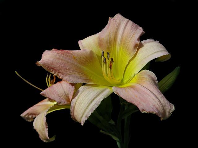 Daylily, Soft Pink, Large-flowered Daylily