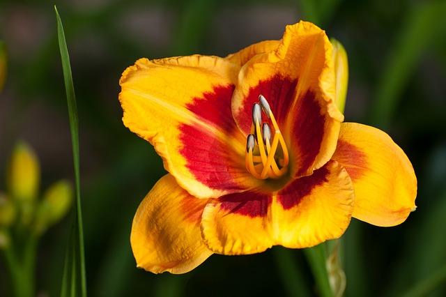 Flower, Nature, Flora, Garden, Outdoors, Daylily