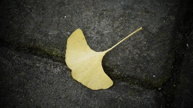 Ginkgo, Defoliation, Dead Leaves