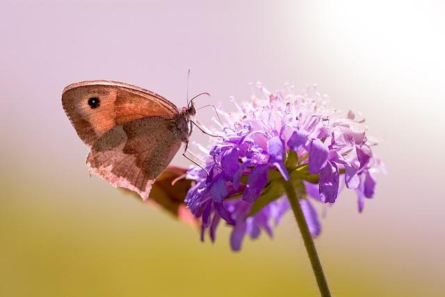 Butterfly, Meadow Brown, Deaf-skabiose, Pigeon Scabious