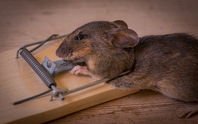 The Mouse Trap, Death, Caught, Animals, Trap
