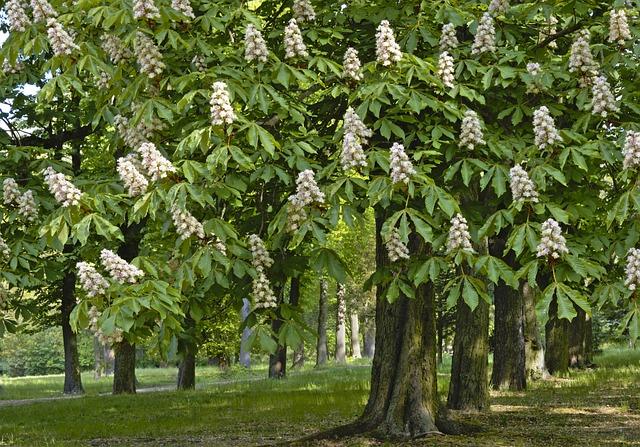 Chestnut, Chestnut Trees, Deciduous Trees, Blossom